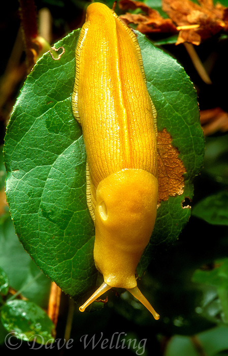 389750001 a wild banana slug ariolomax columbianus in olympic national park washington