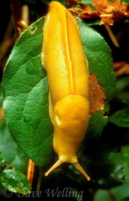 389750001 a wild banana slug ariolomax columbianus in olympic national park washington