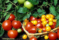 HS09-045b  - Tomato - buffalo variety on stem, LaRossa, celebrity, gold nugget in basket