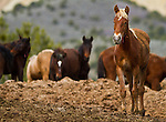 Wild Horses at the Bureau of Land Management's (BLM) wild horse corral outside Salt Lake City, Utah. 5/13/2010 Jim Urquhart/Straylighteffect.com
