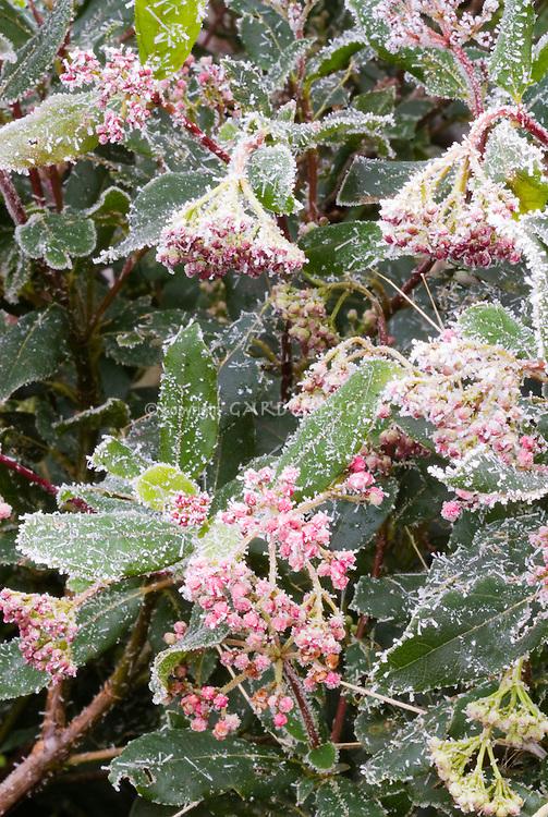 viburnum tinus 39 gwenllian 39 in winter frost plant. Black Bedroom Furniture Sets. Home Design Ideas