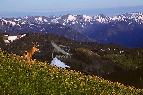 Black-tail buck in alpine meadow covered with bistort flowers, Olympic N.P.