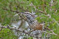 598060024 a wild cactus wren campylorhynchus brunniecapillus  at falcon dam state park rio grande valley texas united states