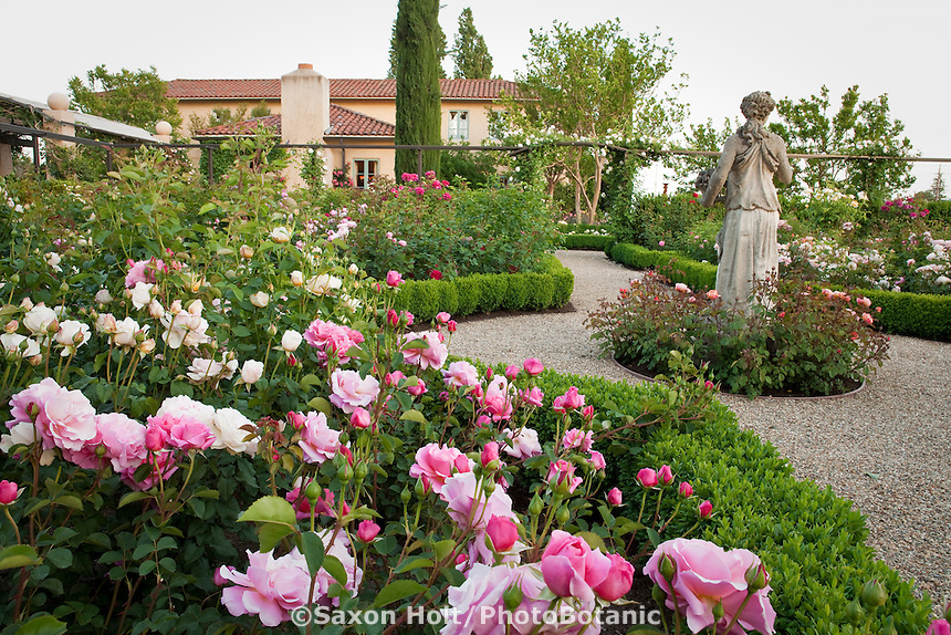 Pink flower Rosa 'Lillian Austin' rose in California flower garden with formal room of English (Austin) roses and statue focal point