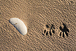 Raccoon tracks in sand on Miller Island in Columbia River.  Klickitat County, WA