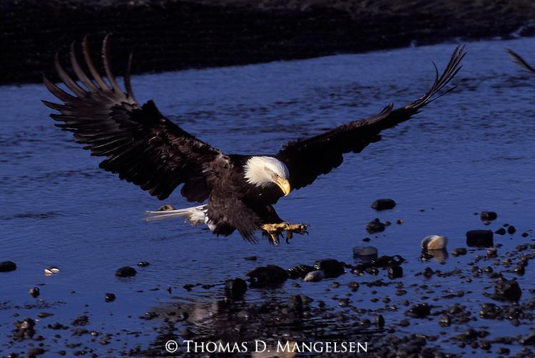 A bald eagle landing on the shore of Homer, Alaska.