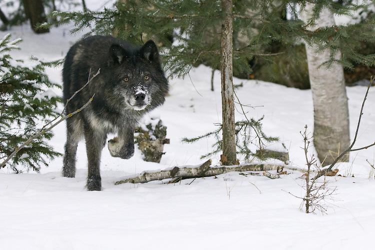 Grey Wolf trotting through a snowy forest - CA