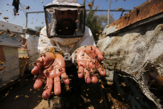 Palestinian beekeepers collect honey from a beehive at a honeybee farm in the Nuseirat refugee camp in the central Gaza Strip, on May 11, 2017. Beekeepers collect honey and wax from the beehives at this time of year. Photo by Ashraf Amra