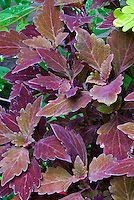 ColorBlaze&reg; Marooned&trade;<br /> Coleus<br /> Solenostemon scutellarioides, dark red purple foliage, Proven Winners, annual plant. Deep ,velvety, maroon foliage on well-branched plants.  Sun to shade tolerant and great in both landscapes and containers.