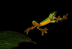 Gliding Tree Frog, Agalychnis spurrelli, leaping from leaf, mid-air, protective nictating membrane covering eyes, Guayacan, Provincia de Limon, Costa Rica, Amphibian Research Center, jumping, high speed photographic technique, tropical jungle, South America, Endangered, Threatened, .Central America....