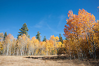 """Aspens at Klondike Meadow 4"" - These yellow aspen trees were photographed in the fall at Klondike Meadow near Truckee, California."