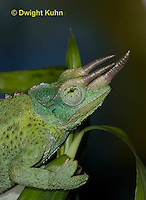 CH35-546z  Male Jackson's Chameleon or Three-horned Chameleon, close-up of face, eyes and three horns, Chamaeleo jacksonii