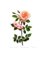 Rose - Belle of Portugal; fine art photobotanic giclée print silhouette