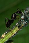 Jet Black Ant, Lasius fuliginosus, tending and milking aphids, Provence.France....