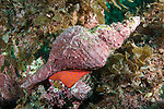 Sea of Cortez, Baja California, Mexico; a Panamic Horse Conch (Pleuroploca princeps) either mating with or feeding on another marine mollusk, tucked into the rocky reef