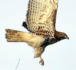 A young golden eagle flies over his prey near Tule Lake, California.