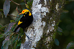 Regent Bowerbird (Sericulus chrysocephalus) male in tree.  Lamington National Park, Queensland.