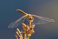 362700029 a wild juvenile male band-winged meadowhawk sympetrum semicintum perches on a small plant near bishop in inyo county california