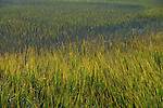 Marsh grass in sunlight in South Carolina