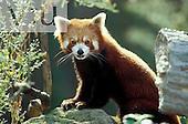 A Red Panda ,Ailurus fulgens,