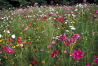 cosmos & Black eyed susans growing together naturalized in wildflower meadow for wildlife, especially butterflies & birds