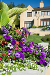 image of purple petunias, red million bells, pink fuschias, white lobelia, and the foliage of tropical-looking, variegated canna leaves fill this interesting raised planter box integrated into a stucco wall with similar planters receeding in the distance.