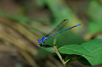 338660004 a wild male spine-tipped dancer argia extrane perches on a plant over a small creek at muleshoe ranch in cochise county arizona