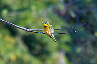 Little BeeEater, Shire River, Liwonde NP, Malawi