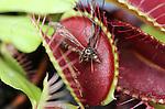 Foto: VidiPhoto <br />  <br /> BLEISWIJK &ndash; Het is de ultieme oplossing voor ons nationale muggenprobleem: vleesetende planten in een aquarium. De &lsquo;groene muggenvangers&rsquo; van de Chris van der Velde (20) uit Bleiswijk zijn amper een week op de markt, maar vliegen inmiddels letterlijk de deur uit. Eerder dit jaar ontwikkelde vader Simon, tevens waterplantenkweker, een educatief plantenaquarium (Amazing World) voor in kinderslaapkamers met vleesetende planten. Het blijkt echter een wondermiddel tegen muggen. De zoetgeurende planten en de blauw-witte LED-lampjes lokken de muggen door een opening in de transparante deksel naar binnen. Ontsnappen is niet meer mogelijk en de planten happen toe.  Insecten als muggen en vliegen vormen ook nog eens de natuurlijke plantenvoeding, dus meer onderhoud dan een maandelijkse scheut water heeft het plantenaquarium niet nodig. Door het warme en vochtige weer worden er veel muggen verwacht.