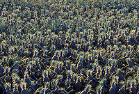 Pineapples growing in upcountry Maui.