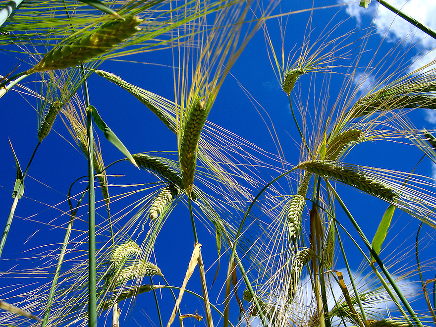 UK ENGLAND SOMERSET DUNSTER 22JUN06 - A field of growing wheat near the village of Dunster, northern Exmoor in Somerset.<br /> Photography by Jiri Rezac/GREENPEACE<br /> Tel 0044(0)208 944 6933<br /> www.linkphotographers.com