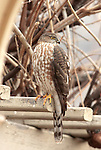 A Cooper's Hawk (Accipiter cooperii)hangs around houses and birdfeeders. It is often found in the woods and edges of woodlands. It feeds on small birds and mammals.