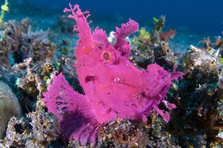 A bright pink / purple paddle-flap scorpionfish: Rhinopias eschmeyeri on volcanic sand, Tulamben, Bali