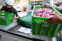 Staff offloading crates of yaezakura cherry blossom at a processing facility. Matsukawa-city, Nagano Prefecture, Japan, April 26, 2013. Farmers in the Matsukawa area of Nagano prefecture grow yaezakura cherry blossom to be used as an ingredient in Japanese cakes, sweets and other foods.