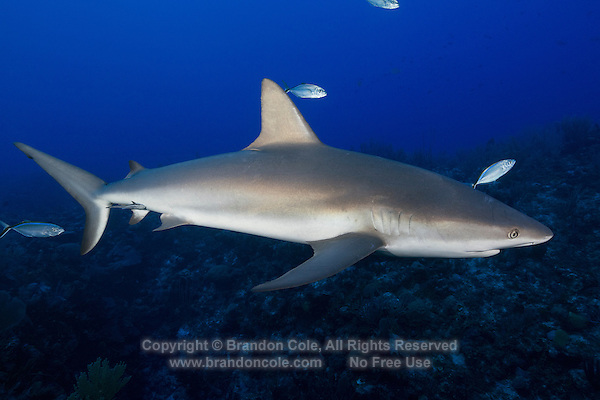 TR5580-D. Caribbean Reef Shark (Carcharhinus perezi), found from Florida to Brazil, surface to over 1000 feet deep. Grows to 10 feet long, diet consists primarily of bony fishes. Solitary or in loose groups. Litter size 4-6 pups. Cayman Islands, Caribbean Sea.<br /> Photo Copyright &copy; Brandon Cole. All rights reserved worldwide.  www.brandoncole.com