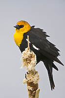 Yellow-headed Blackbird perched on an old bullrush