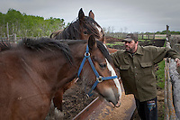 Yves Bretons feeds his Clydesdale horses on a farm in Saint-Laurent, Manitoba Monday May 23, 2011. The Clydesdale is a breed of draft horse derived from the farm horses of Clydesdale, Scotland, and named after that region.