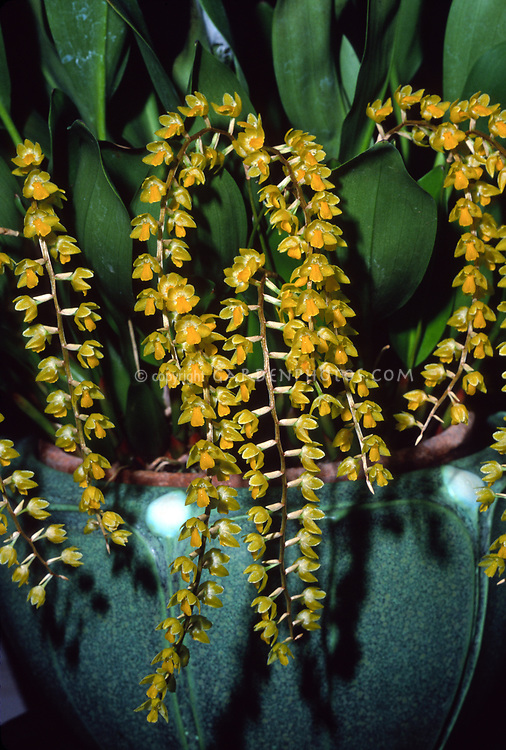 Dendrochilum cobbianum grows in the Philippines