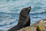 New Zealand fur seal (Arctocephalus forsteri) basking on rocks in Otago Harbour, Otago Peninsula, New Zealand