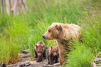 Brown bear sow with four spring cubs, Brooks river, Katmai National Park, Alaska