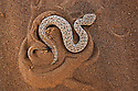 Namibia;  Namib Desert, Skeleton Coast, sidewinding adder burrowing itself into sand dune (Bitis peringueyi)