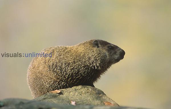 Woodchuck or Groundhog (Marmota monax), North America.
