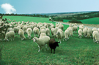 Flock of sheep gather with two in front one white and one black on a green English meadow