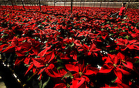 Poinsettias at Metrolina Greenhouse in Charlotte, NC.