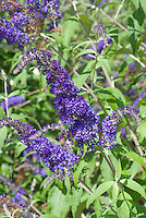 Buddleja davidii 'Blue Horizon' TN5