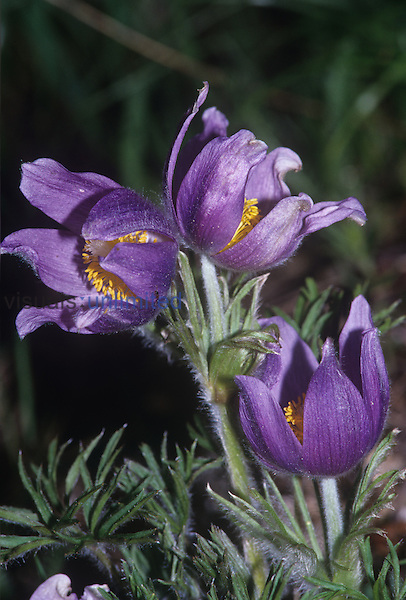 Pasque Flower ,Pulsatilla patens,, North America.
