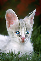 678054063 a captive white-footed serval kittne felis serval studies its surroundings at a wildlife rescue facility species is native to africa the white phase is a genetic abnormality condition