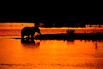 Sunset finds a brown bear wading near the beach in Katmai National Park, Alaska.