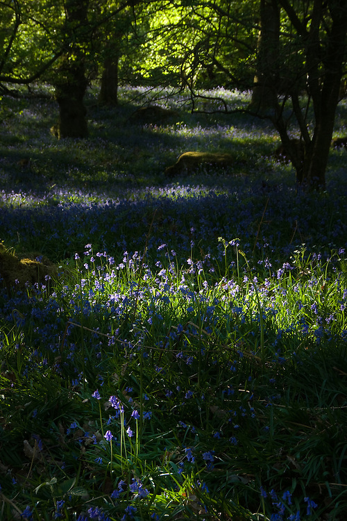 Dappled sunlight through trees onto blubells in a wood