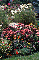 Late summer garden of Sedum, Cosmos, Cleome, Marigold, Zinnia, annuals and perennials together in flower